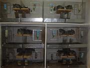 Продаю племенных Шиншилла для разведения 89093050398