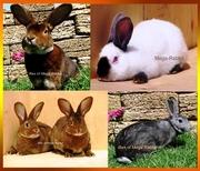 Кролики Рекс,  Калифорнийский