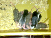 крысята декоративные классика и сфинксы