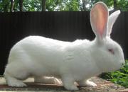Продажа породистых племенных кроликов и крольчат. Самара-Россия