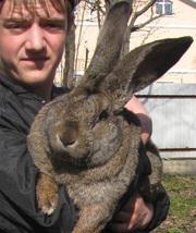 Продажа Кроликов-гигантов породы: Фландр,  Ризен,  Обер.