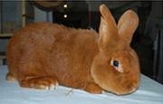 Продаем кроликов породы Новозеландская красная,  Новозеландская белая