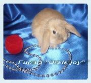 Вислоухие карликовые кролики редких окрасов из питомника Urals joy