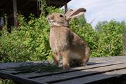 Кролики крупных пород