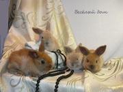 Кролики - Карликовй Баран