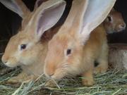 Молодняк кроликов для выращивания и откорма!!!