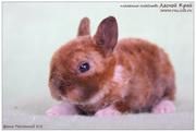 карликовые кролики породы рекс и сатин-рекс