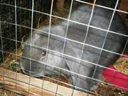 взрослые кролики французских баранов мясные