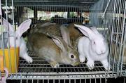 Распродажа крольчата великаны,  гиганты