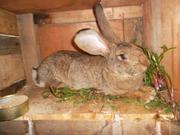 Продам кроликов великанов различных пород.