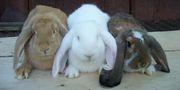 Кролики породы Французский,  Немецкий,  Английский баран.