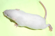 Кормовые крысы и мыши